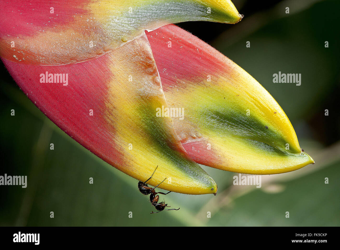 Ants visiting flower of heliconia - Stock Image
