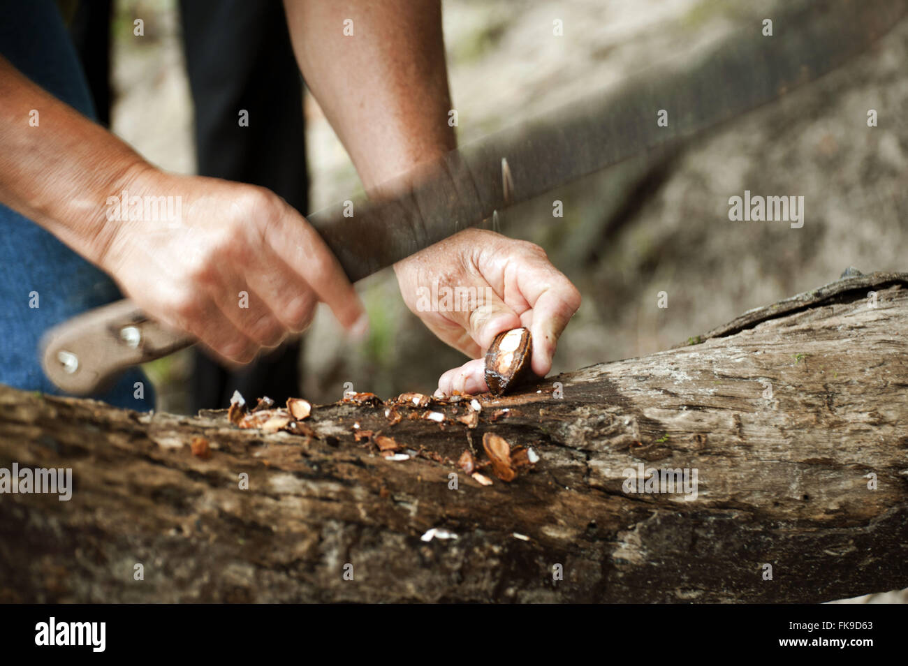 Bushman opening seed-nut to - Stock Image