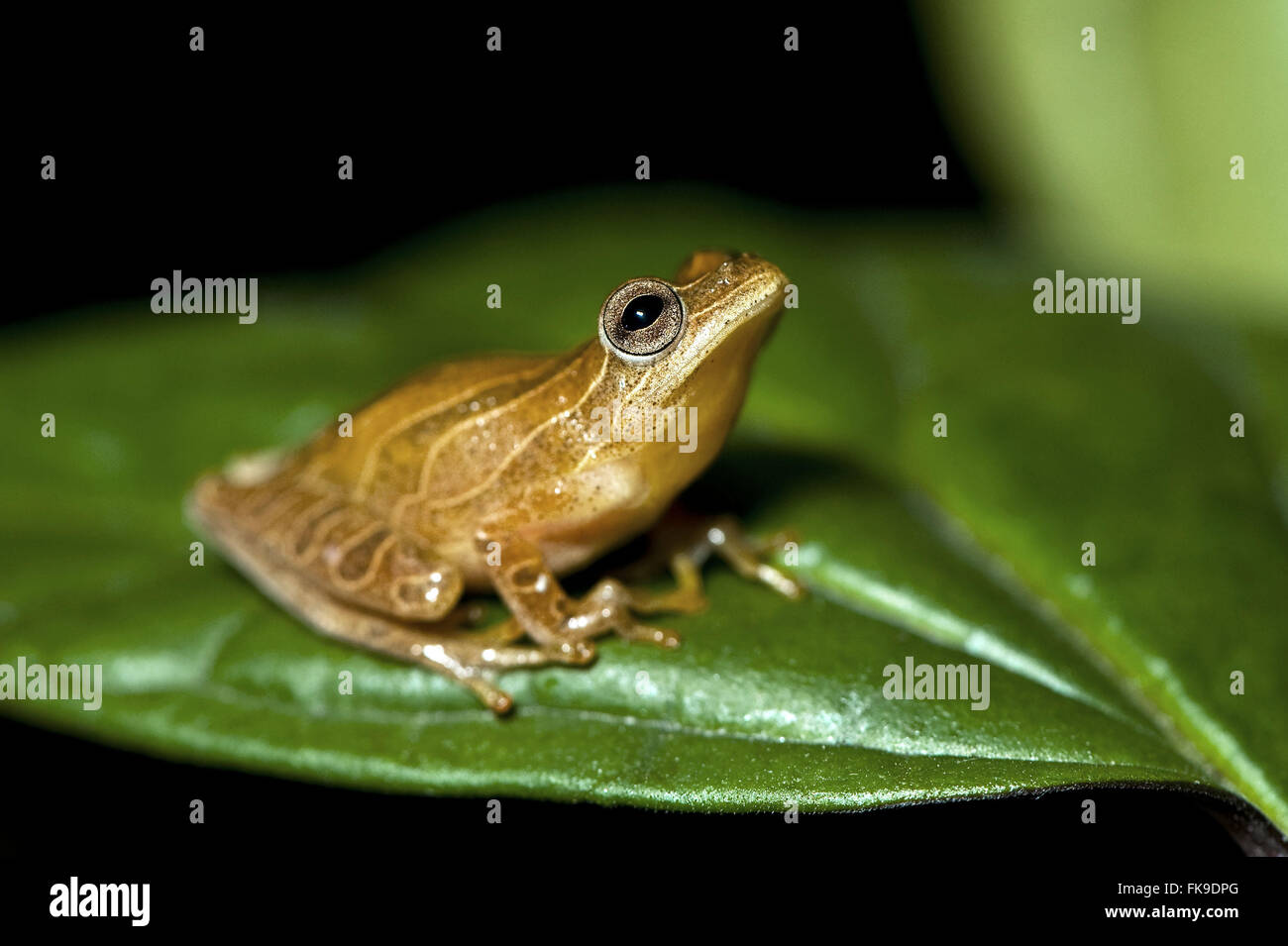 Frog with 4 inches long - Dendropsophus old minutus Hyla minuta - Stock Image