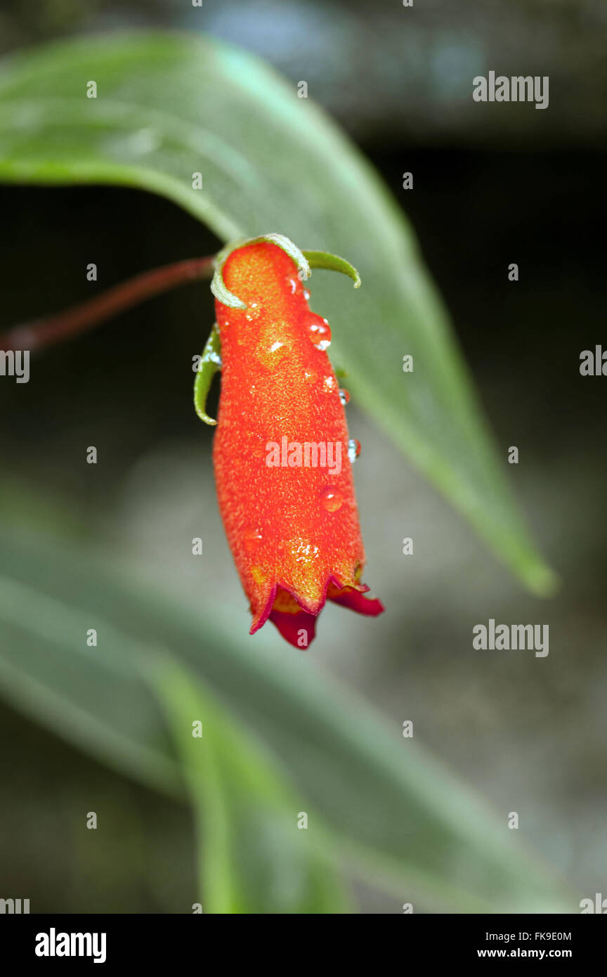 Semania - Gloxinia sylvatica - also known as Gloxinia - sylvatica Seemannia - Stock Image
