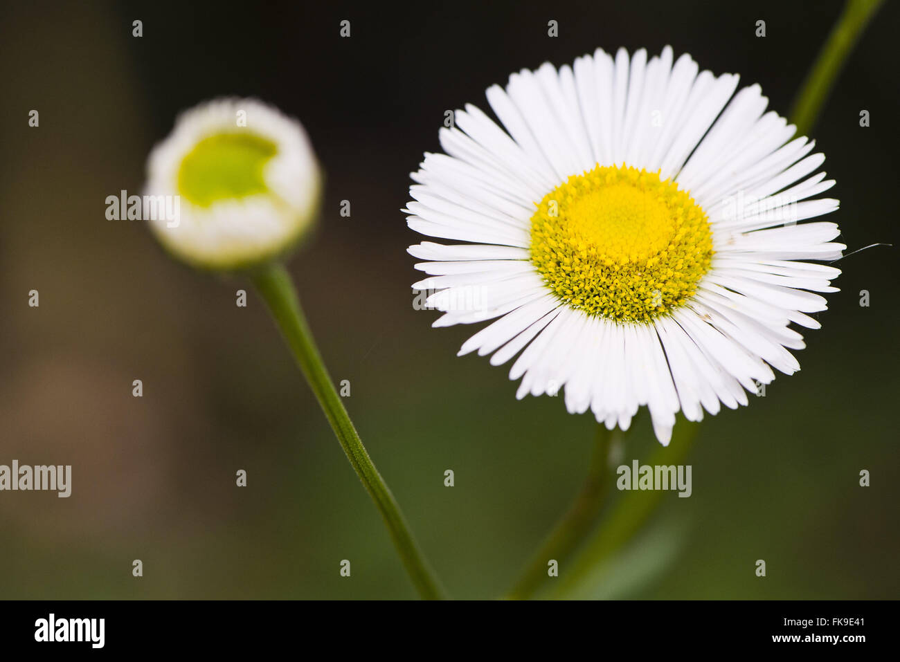 Daisies Asteraceae family - also known as composite flower - Stock Image