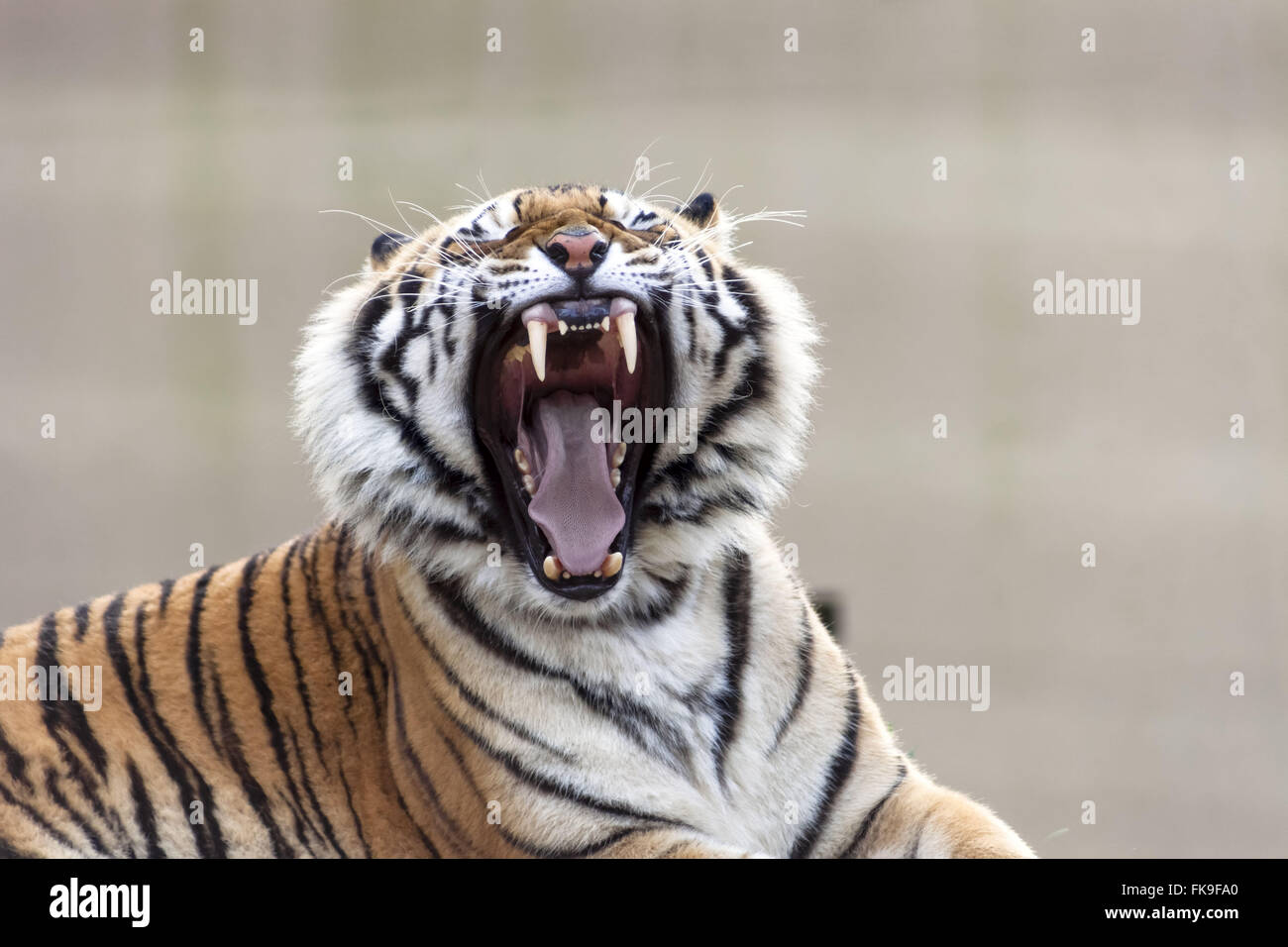 Roaring tiger - the city zoo founded in 1932 - maintained by Hermann Foundation Weege Stock Photo