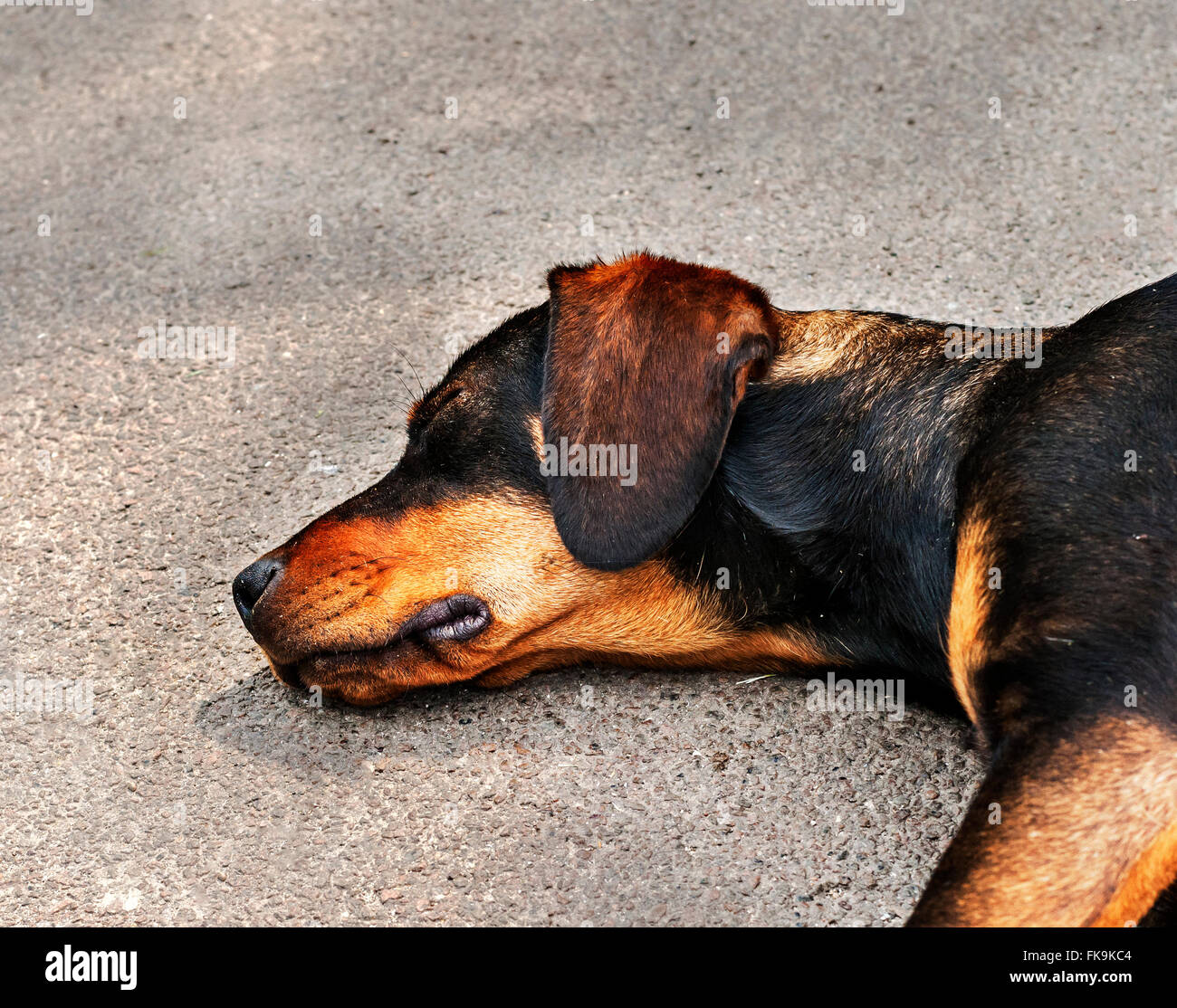 Drifter yellow and black dog sleeping on the wall - Stock Image