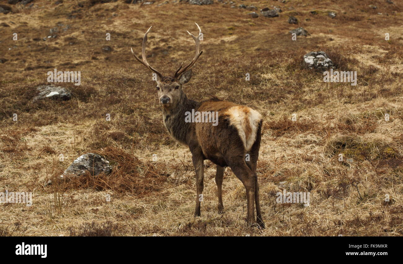 Wild Red Deer Stag in the Scottish Highlands. - Stock Image