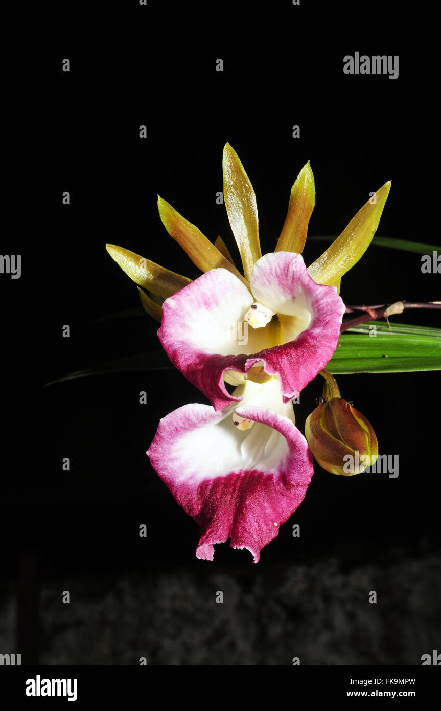 Blooming orchids - Orchidaceae - Stock Image