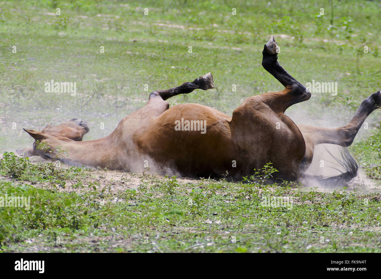 Horse rolling on the ground - one of three subspecies of modern species Equus ferus - Stock Image
