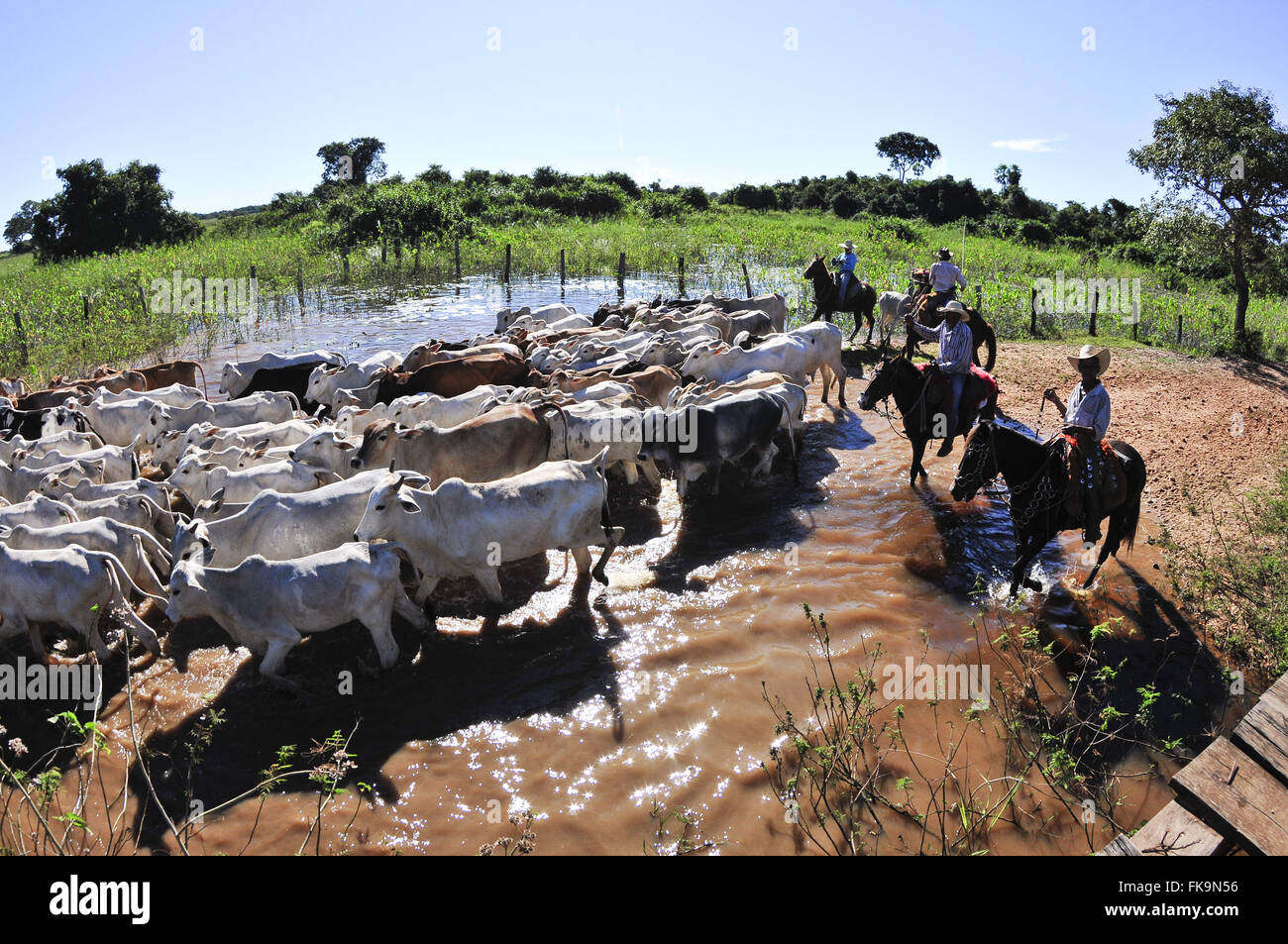 Entourage of pedestrians moving cattle in search of shoots or natural pastures at the beginning of the dry - Stock Image