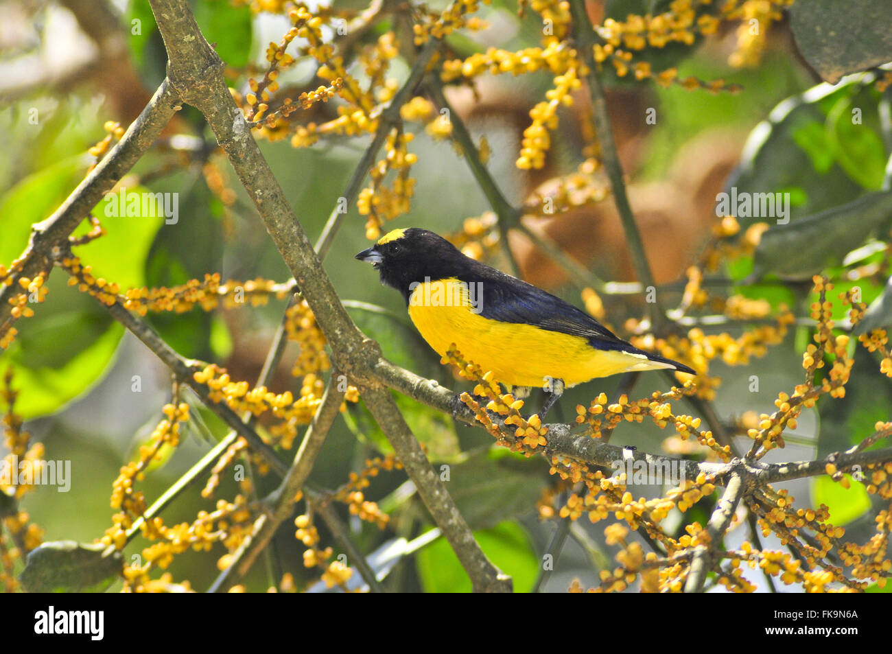 End-bird weekend - family Fringillidae - chlorotica Euphonia - Stock Image