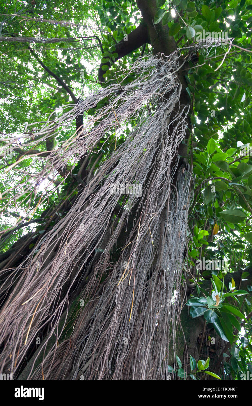 Lianas hanging down from a tree in Brazil - Stock Image