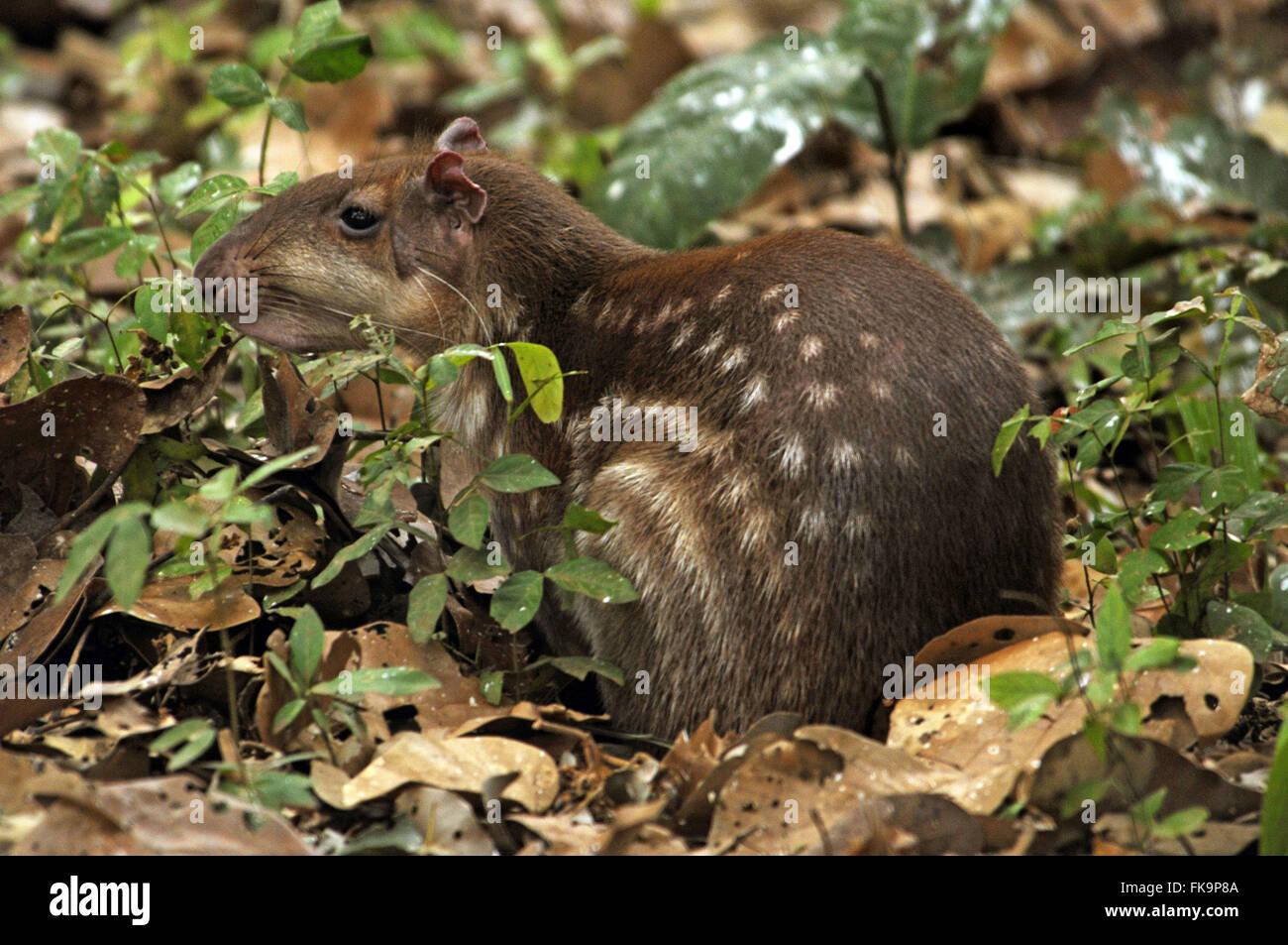 Paca in the Pantanal - cuniculus paca - Stock Image