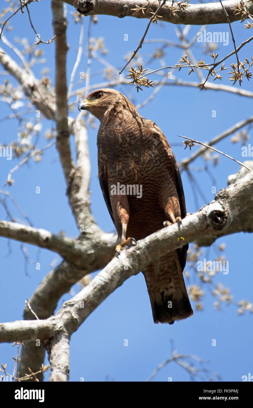Caboclo hawk perching on tree branch - Buteogallus meridionalis - Pantanal - Stock Image