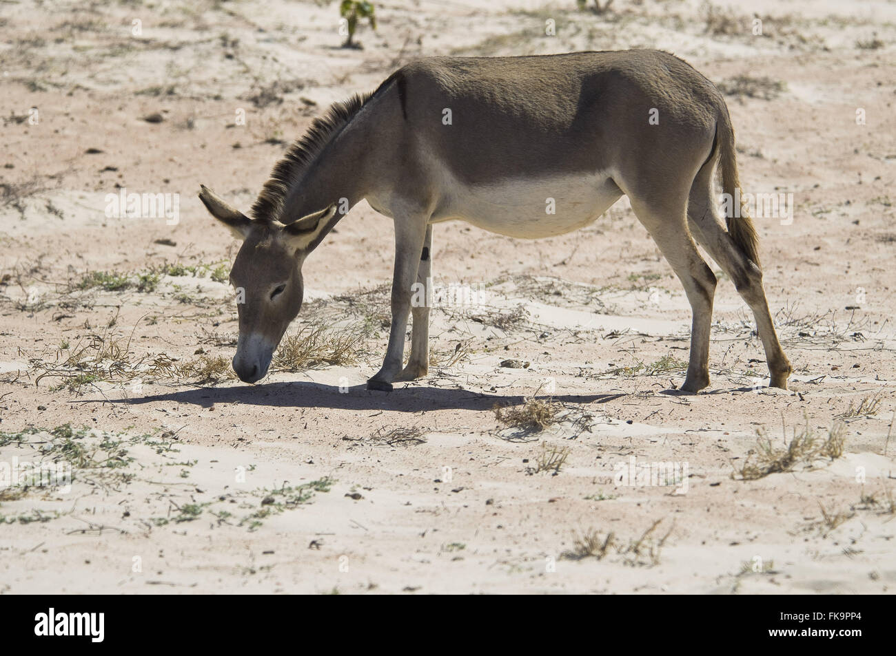 Donkey looking for food in Praia Ponta do Mel in Natal coast - the Costa Blanca region - Stock Image