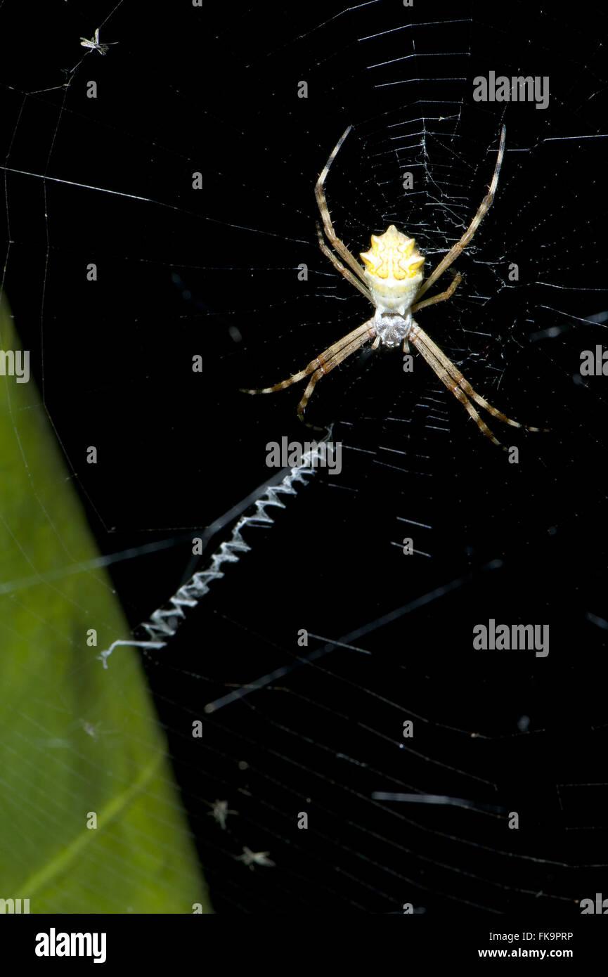 Spider silver-warp - argentata Argiope - Stock Image