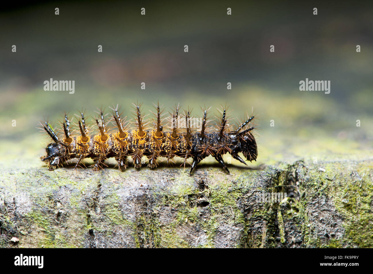 Stinging caterpillar on twig - Stock Image