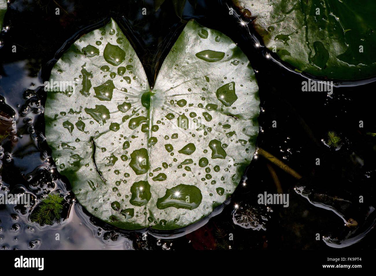 Sheet lily - aquatic plant - Stock Image