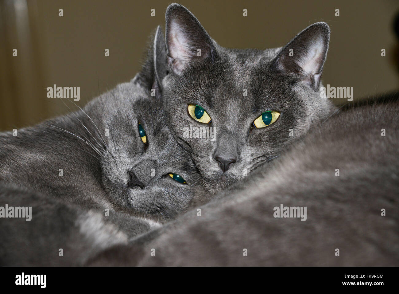 Twin cats - Stock Image