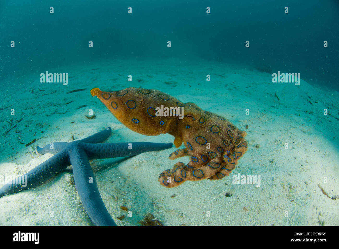 Blue-ringed octopus (Hapalochlaena lunulata) on white sandy area with blue starfish (Linckia laevigata) - Stock Image