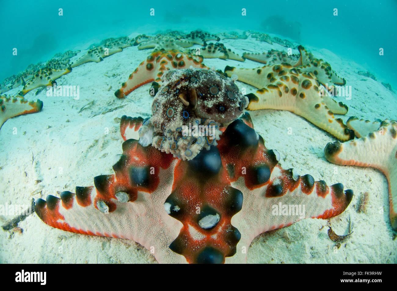 Blue-ringed octopus (Hapalochlaena lunulata)  on a choc chip starfish (Protoreaster nodosus) on white sandy area. - Stock Image