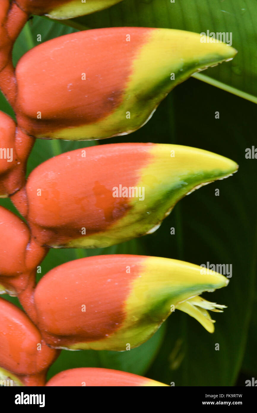 Heliconia - heliconia rostrata - ornamental banana flower - Stock Image