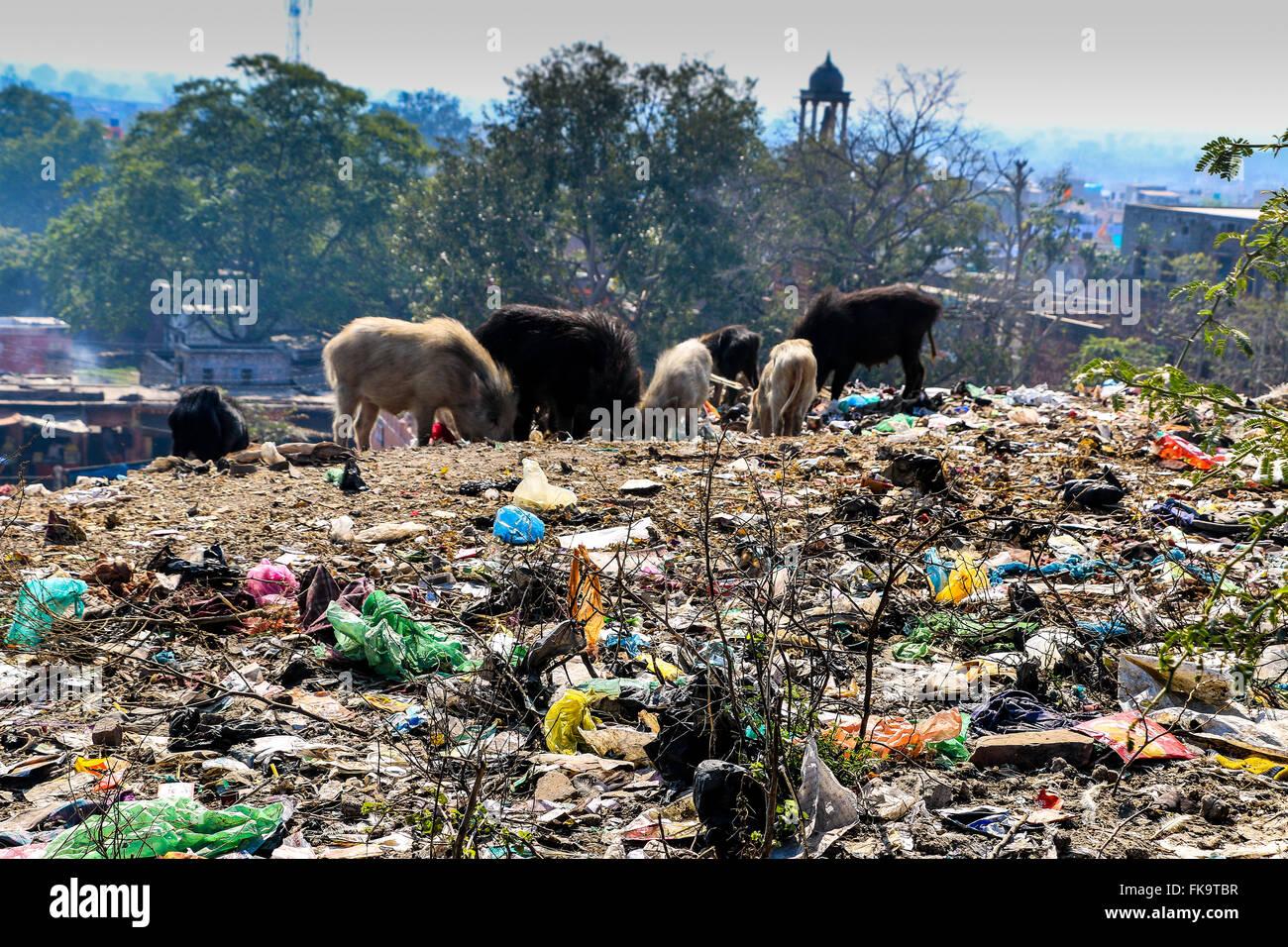 Pigs eating rubbish on rubbish tip  close to  Fatehpur Sikri, UNESCO World Heritage Site, Uttar Pradesh, India, - Stock Image