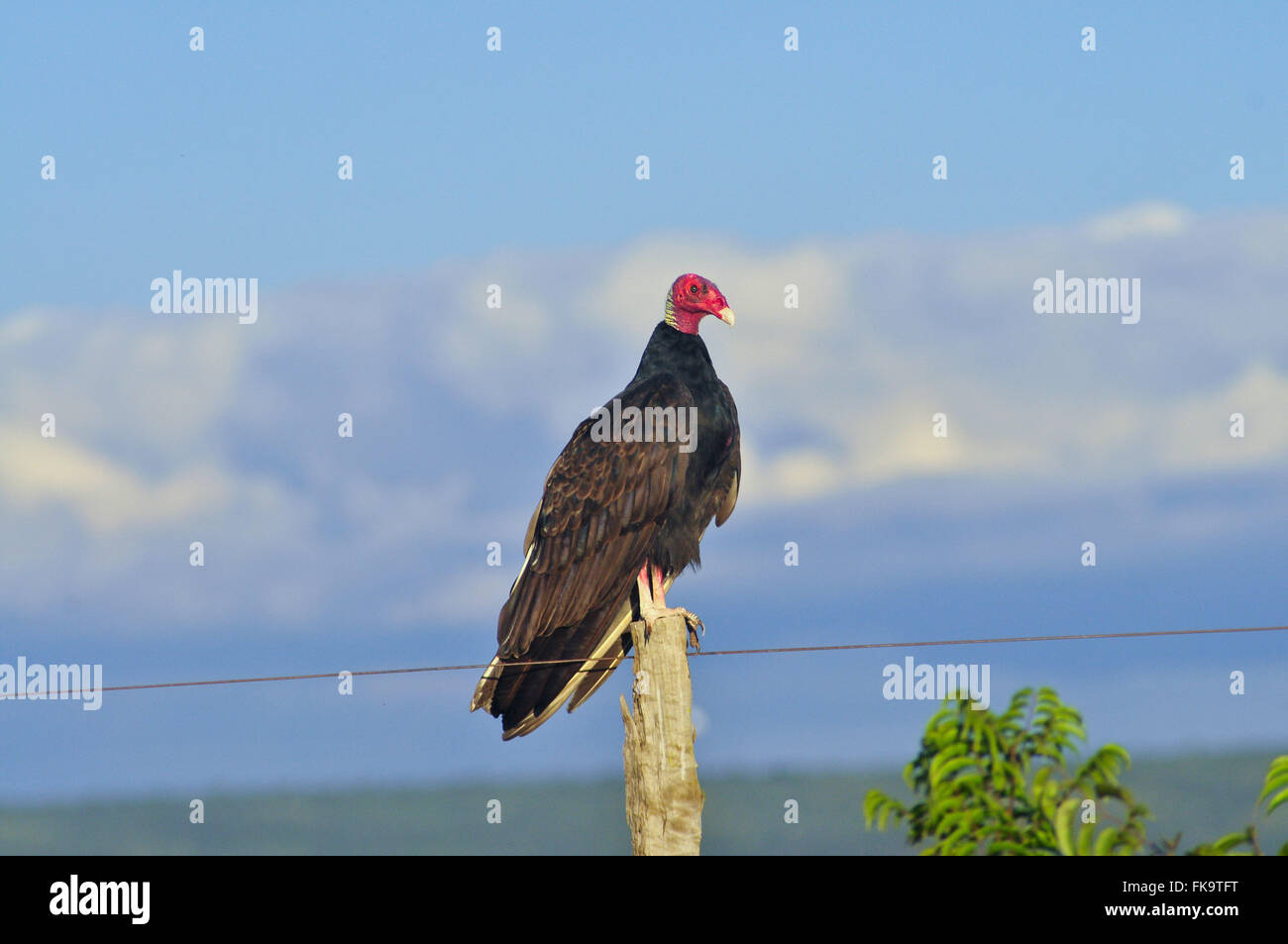Vulture-of-head-red - Cathartes aura - Stock Image