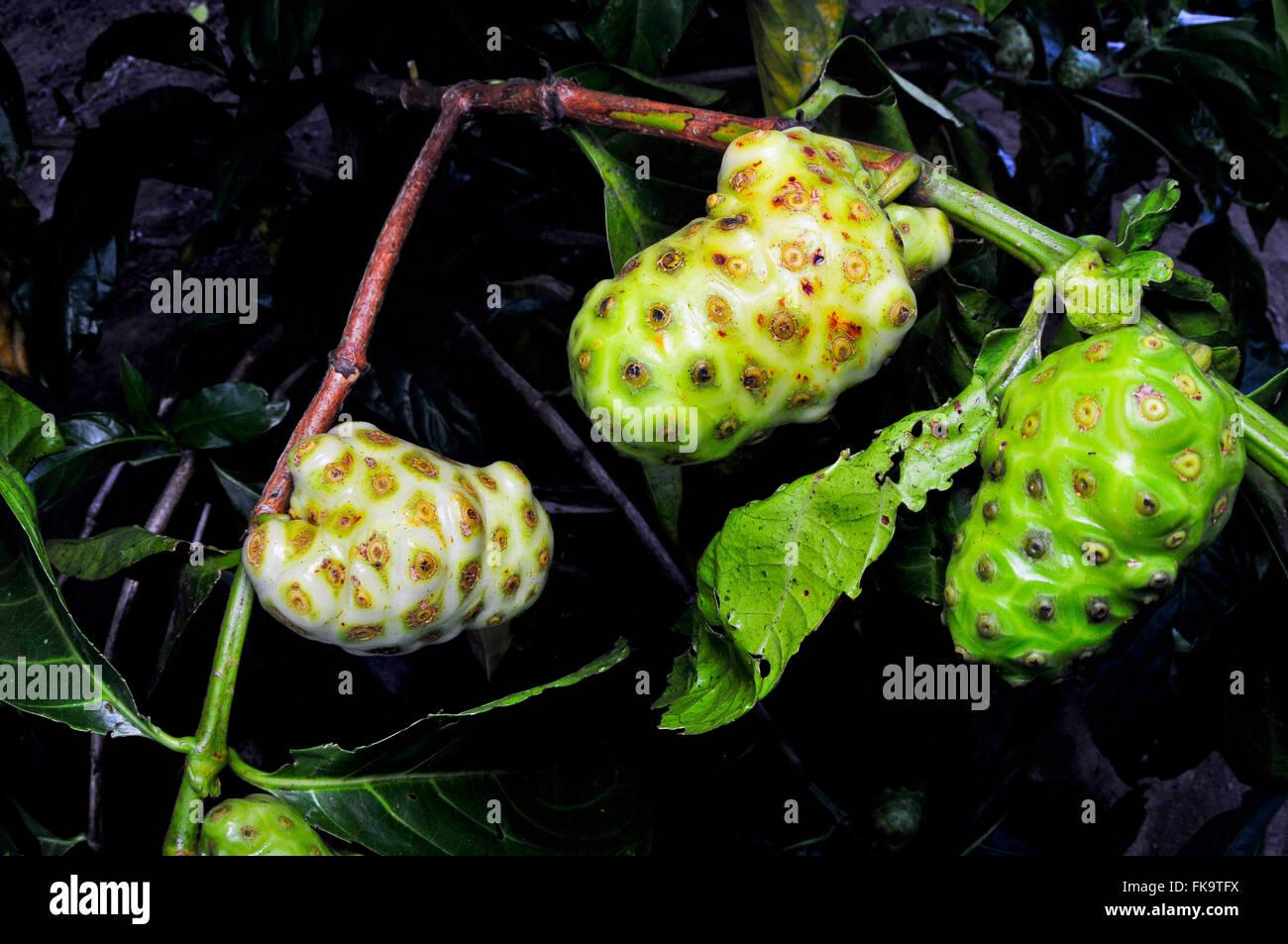 Detail of small fruit tree called Noni - Morinda citrifolia - Stock Image