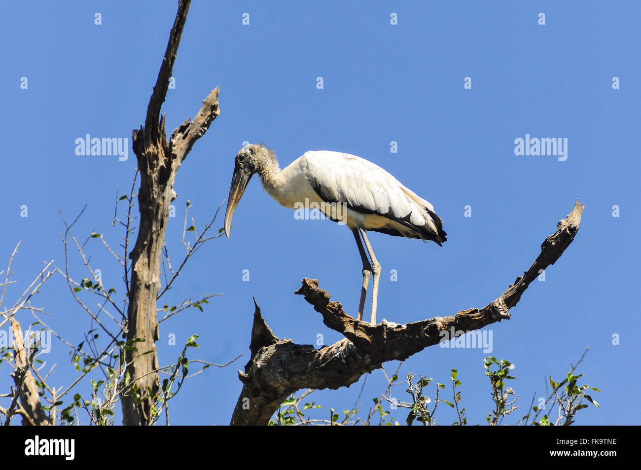 Head-dry twig in the Pantanal of Pocone - Stock Image