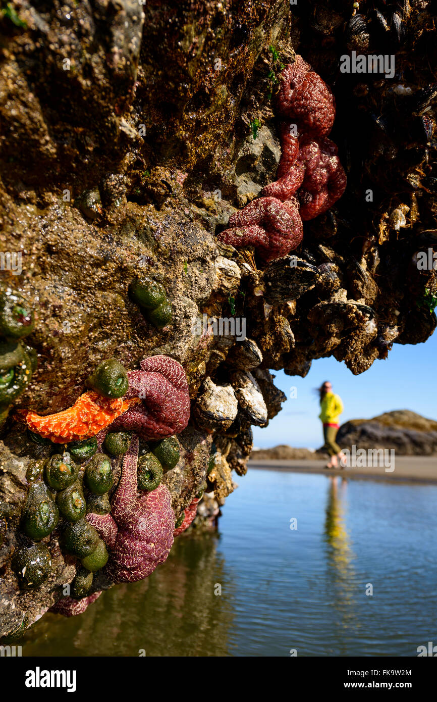 Rocks covered in starfish at low tide in Bandon Beach, Oregon, USA. Now a disease is killing off starfish. - Stock Image