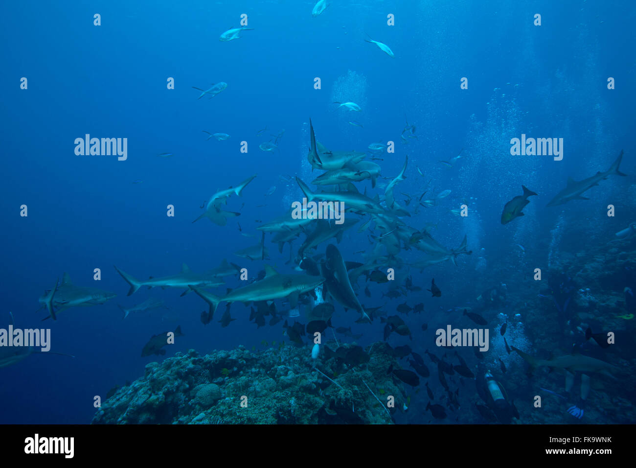 Shark feed at North Horn, Osprey Reef. Mainly grey reef sharks (Carcharhinus amblyrhynchos) - Stock Image