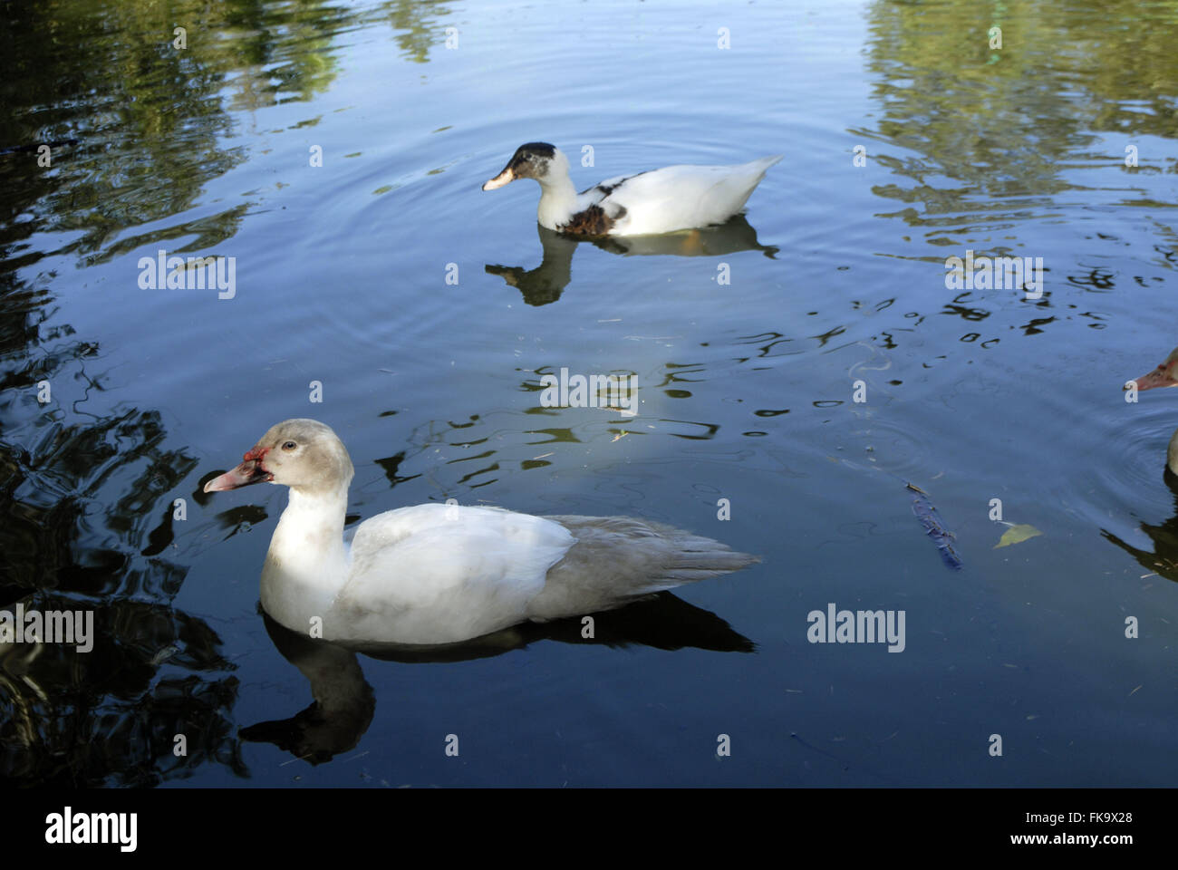 Ducks in the pond - Anatidae - Stock Image