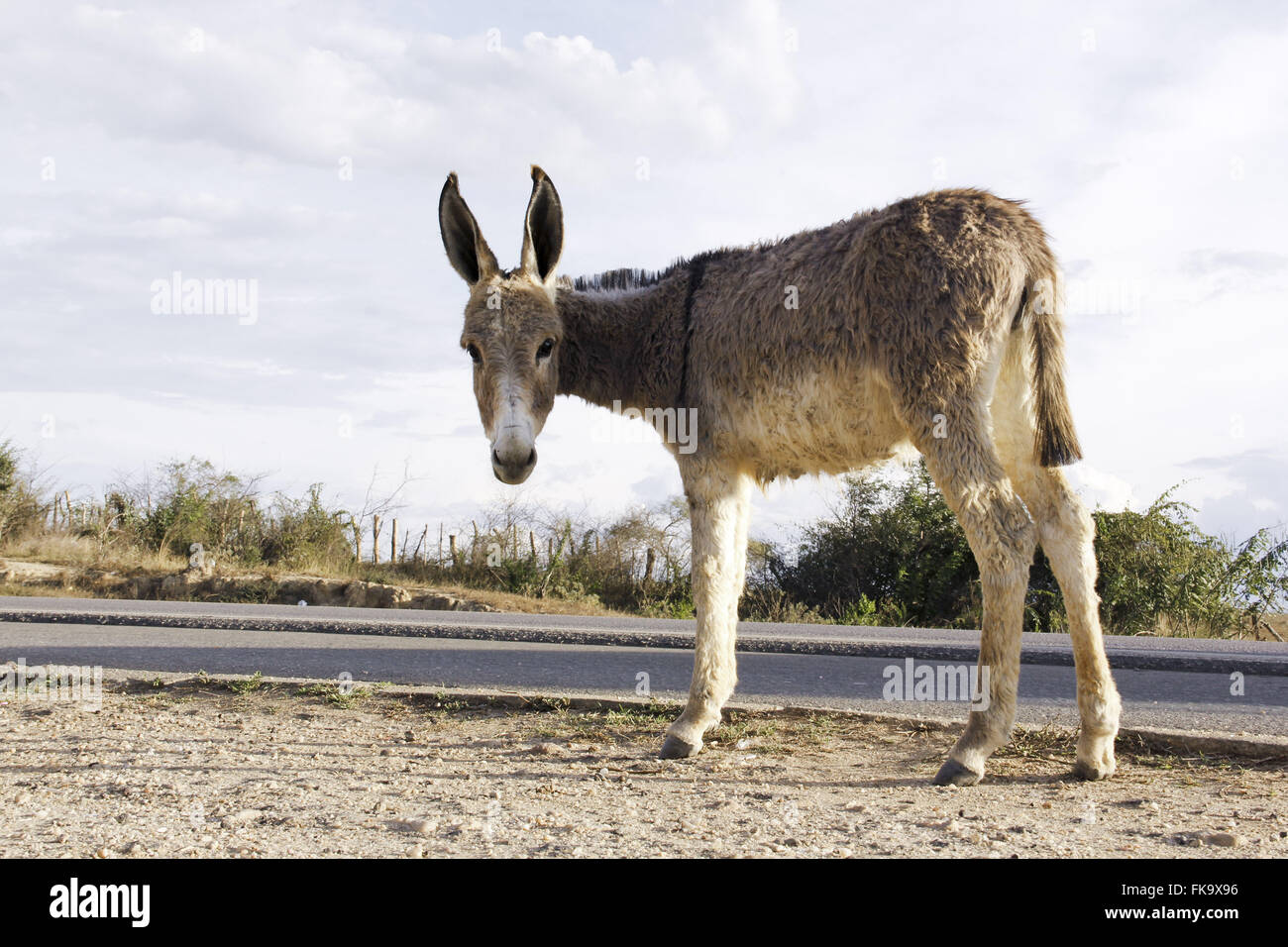 Hungry donkey on the edge of the highway - Stock Image