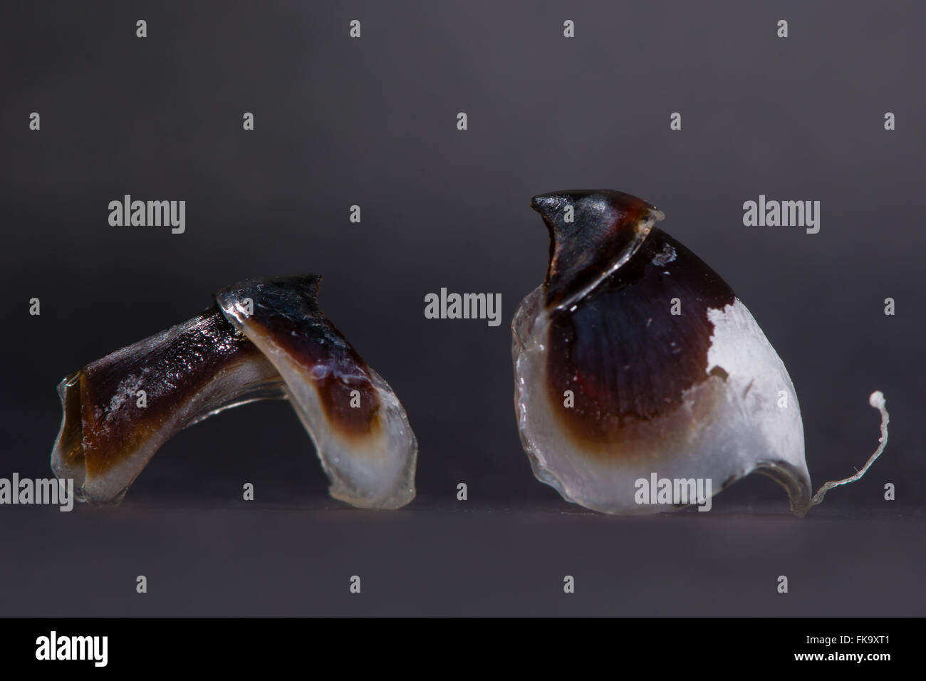 Octopus beak. Two parts of an octopus' mouthparts, made of keratin and used to crush prey - Stock Image