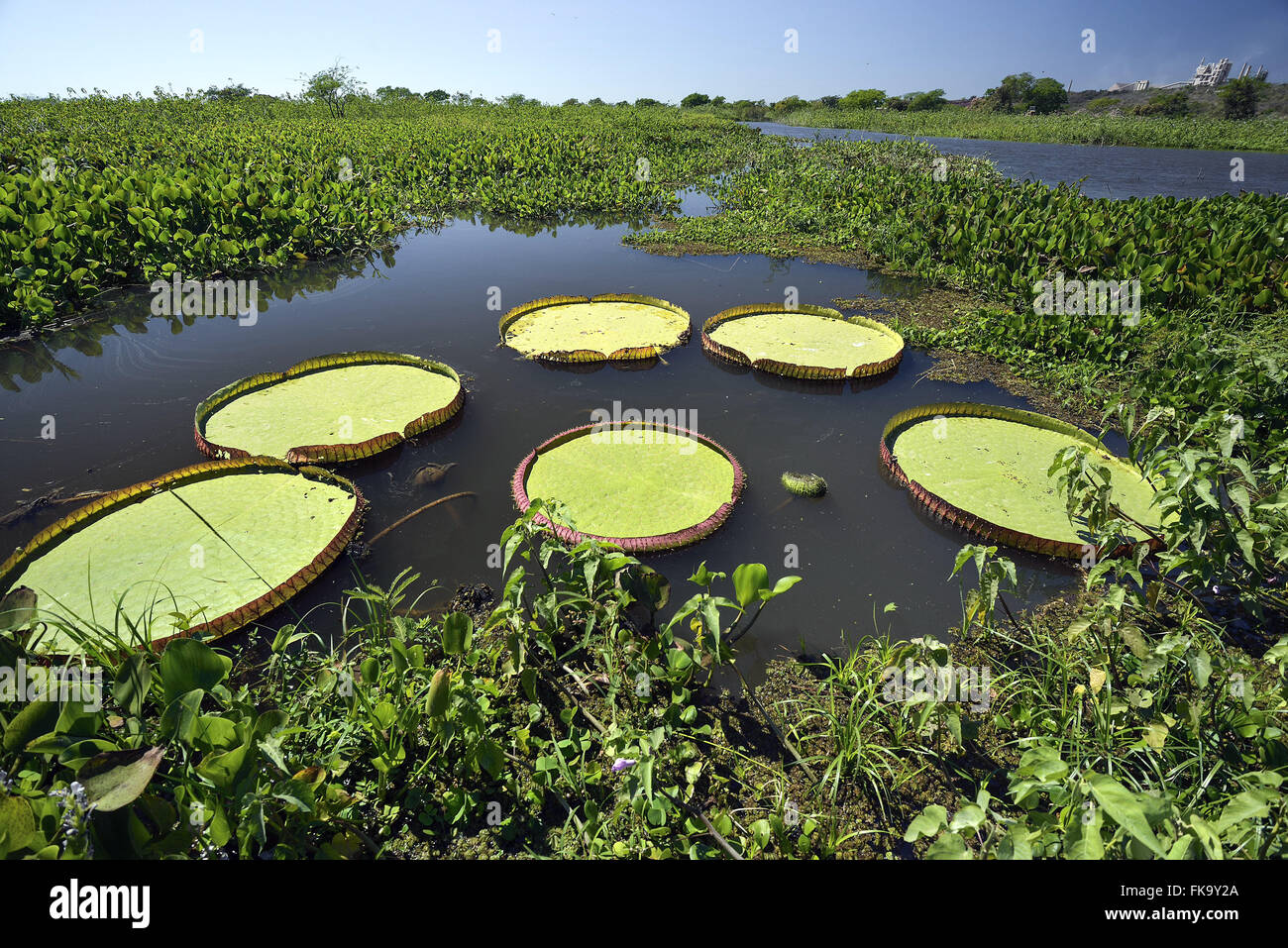 Water lilies in the river Paraguay - Stock Image