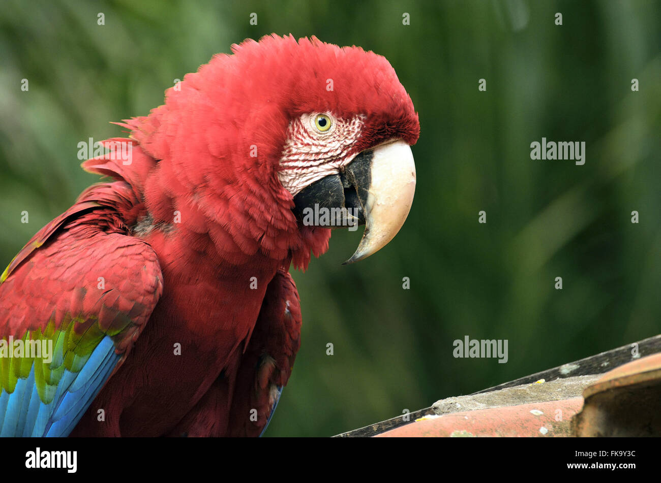 Red macaw domesticated - Stock Image