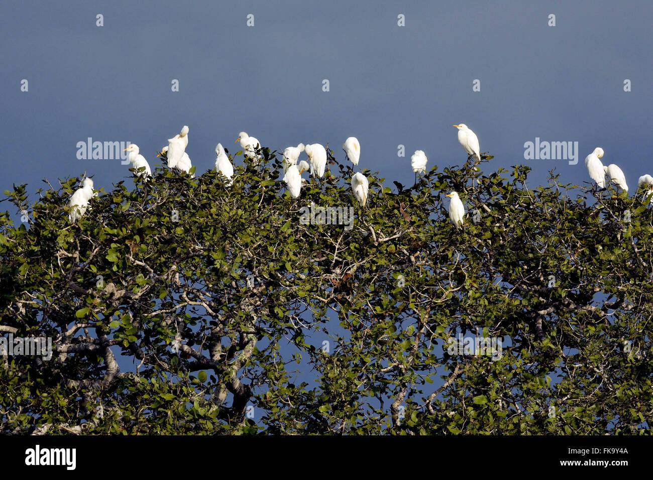 Birds in the canopy of a tree - Stock Image