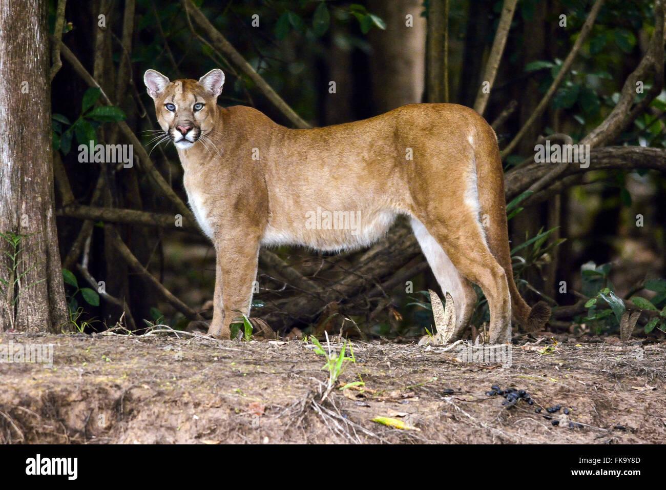 Puma puma or the Pantanal South - Stock Image