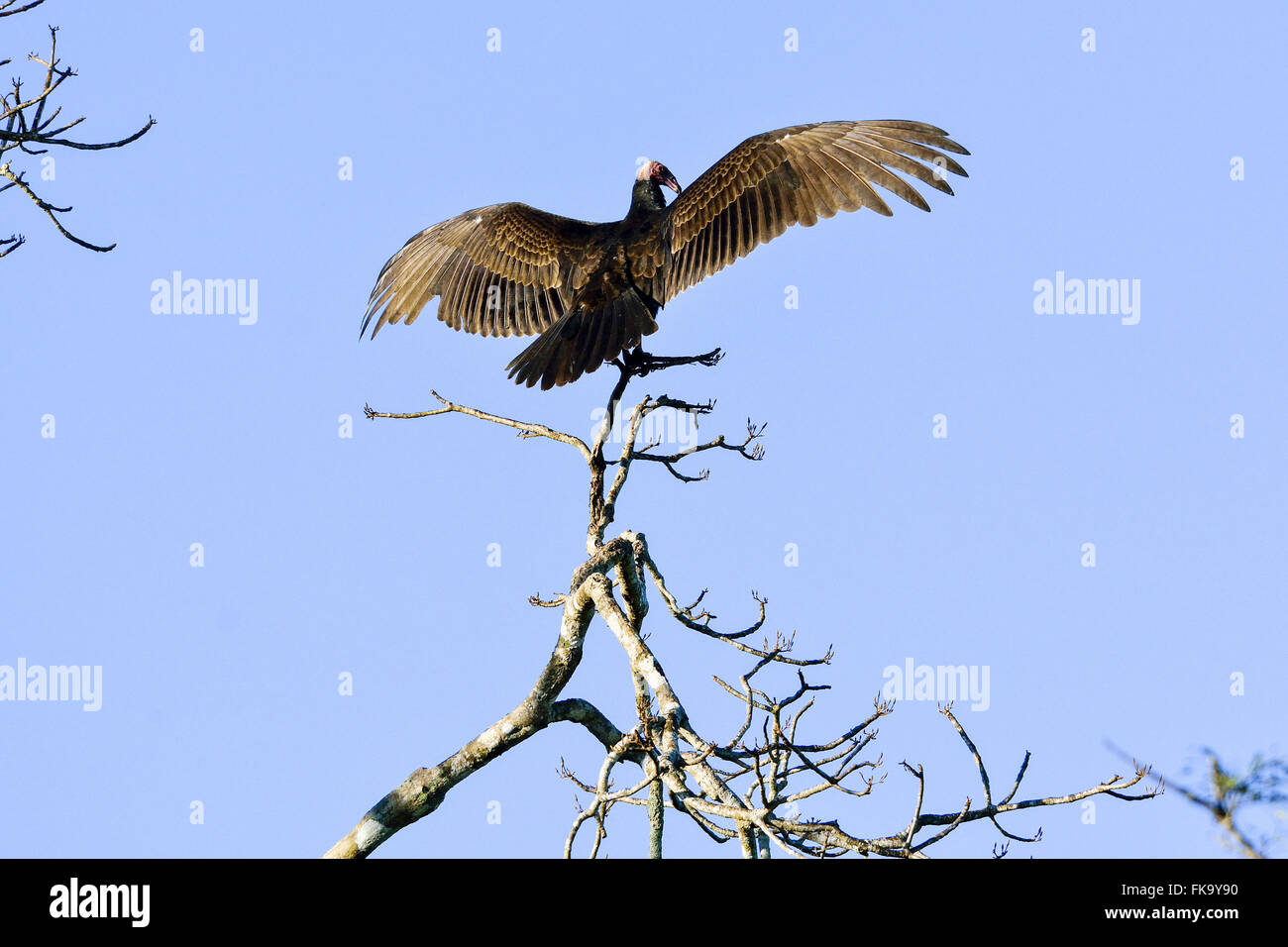 Vulture with open wings to sunbathe - Stock Image