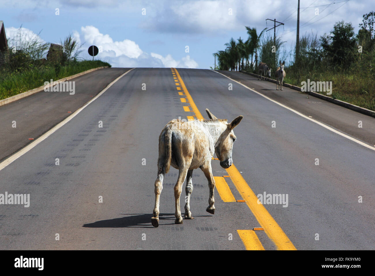 Abandoned donkey wandering through the BR-230 - Stock Image