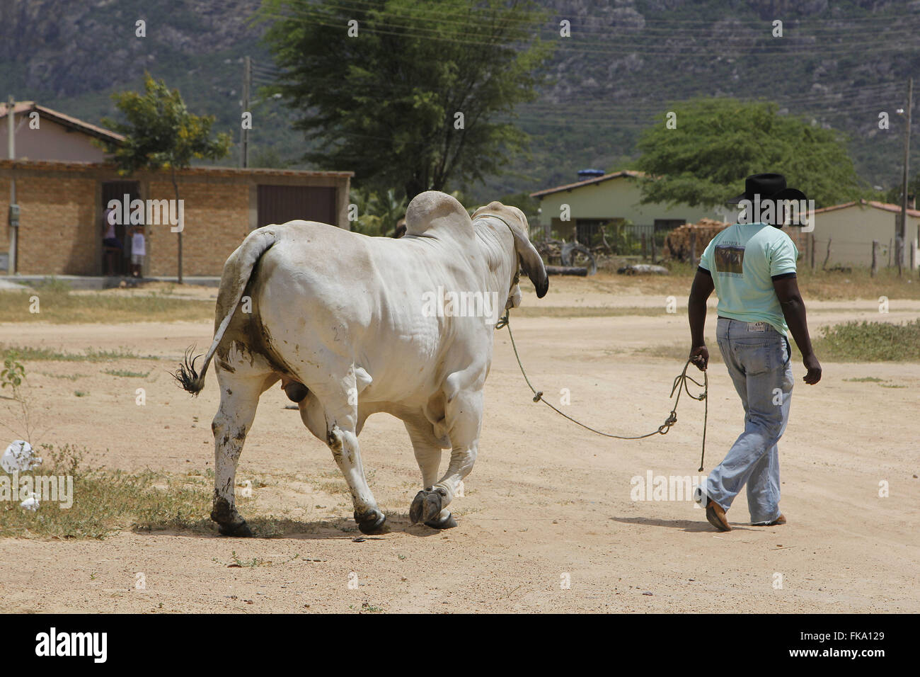 Pawn leading bull to meet cowboys and riders in the district of Caribbean - Stock Image
