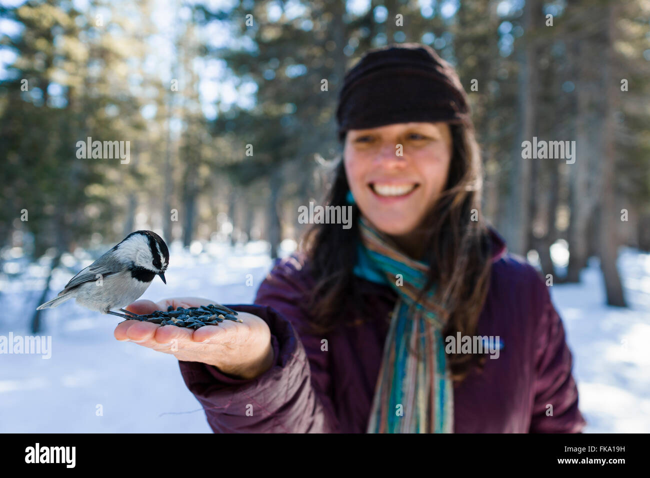 Wild Chickadee birds eat out of stylish woman's hands in snowy forest environment - Stock Image