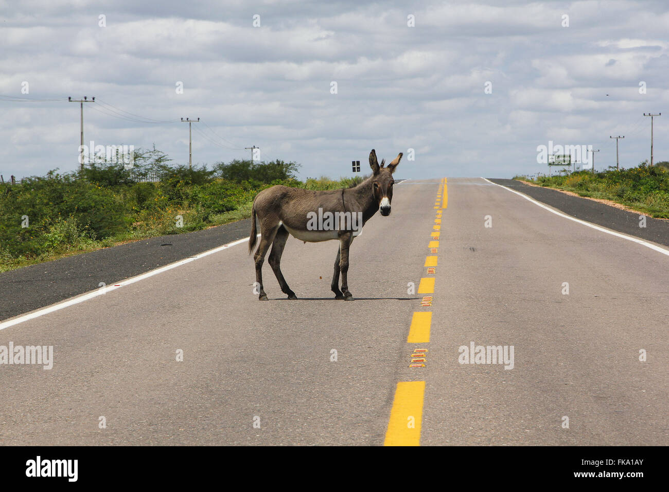 Donkey in the BR-407 - Stock Image