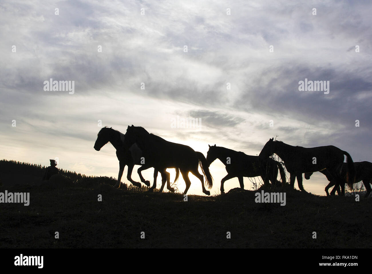 Knight collects horses to saddle after landing during the Pilgrimage of Faith - Stock Image