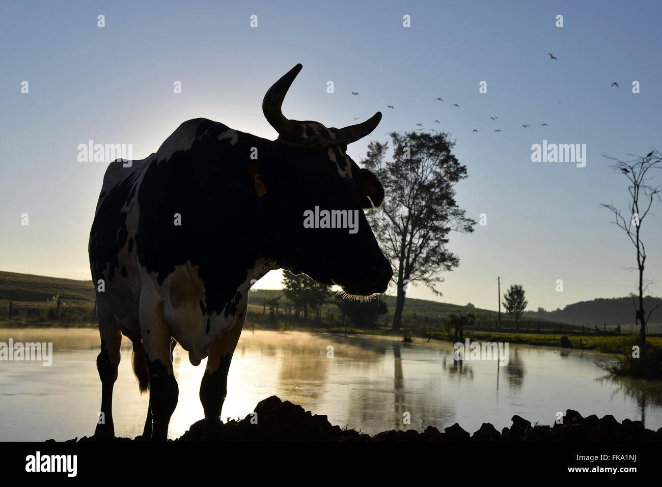 """Vaca na margem de lago pela manh"""" - Stock Image"""