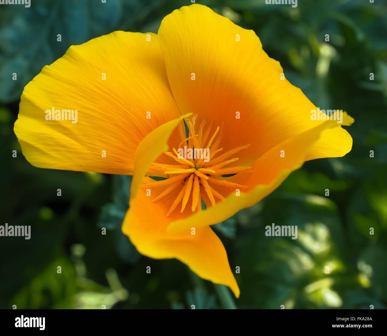 California Poppy Golden Yellow Inside - Stock Image