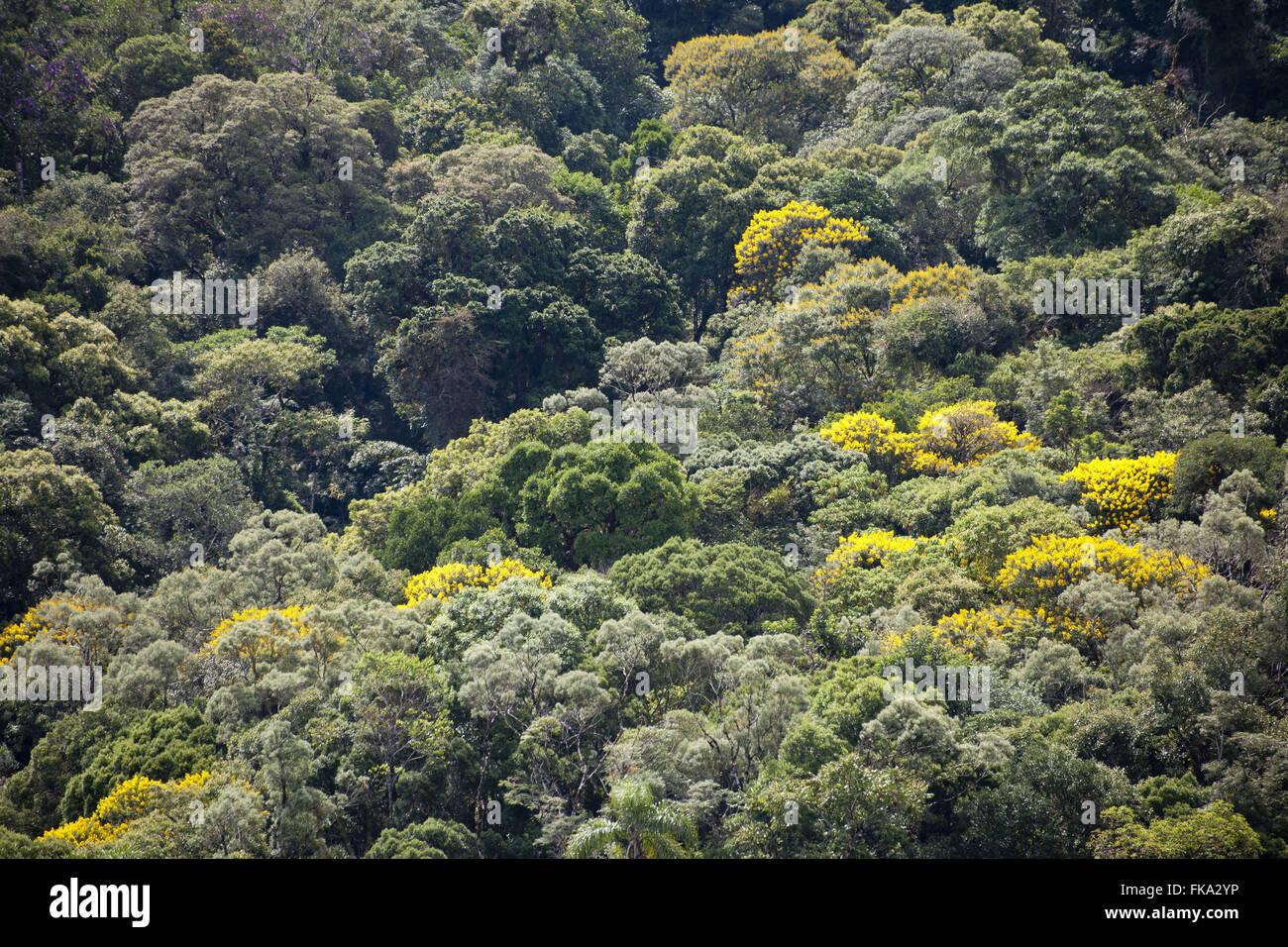 Acacias in the rain forest - Acacia farnesiana - Stock Image