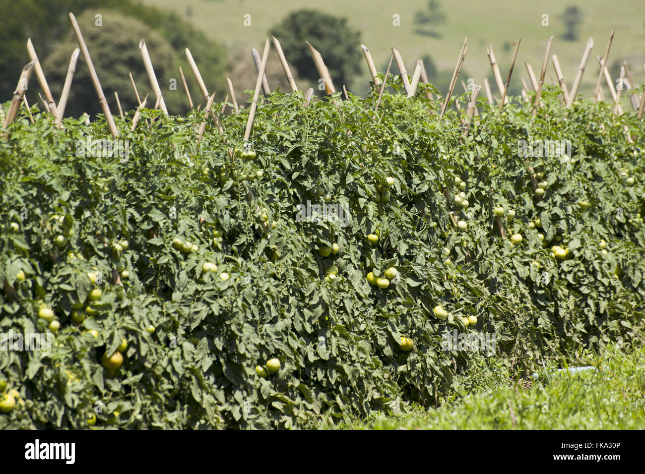 Plantation of envarado tomato variety Alambra in rura area Taquarivaí - Stock Image