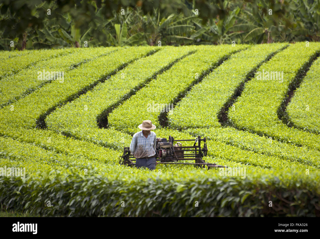 Rural worker doing lateral pruning in tea plantation in the Ribeira Valley - Stock Image