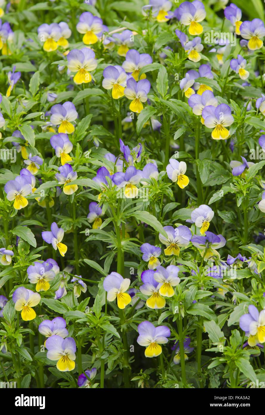 Pansy - Cercis siliquastrum in Monet`s Garden - Viola Sp - Stock Image