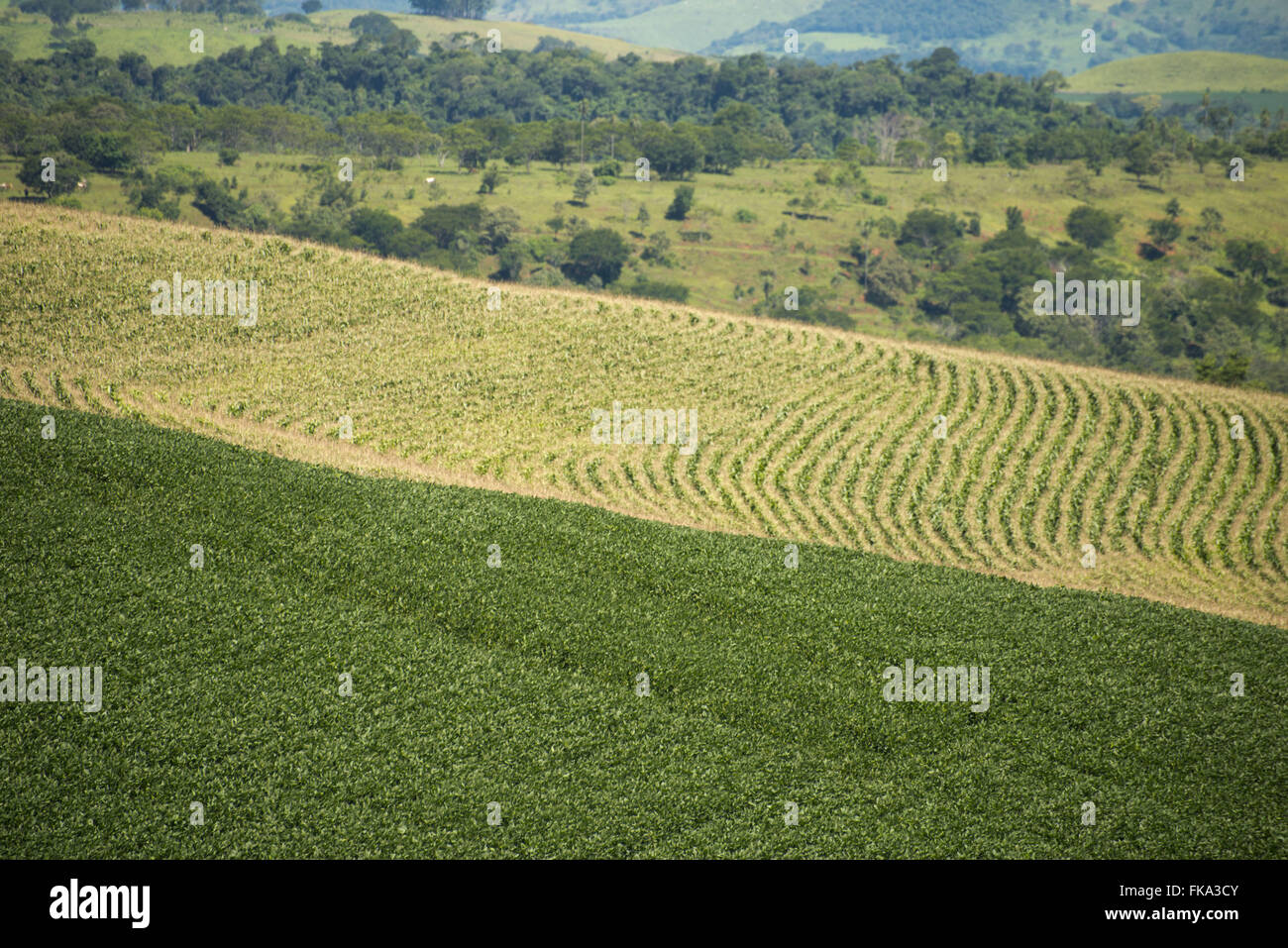Plantation of soybeans and corn in the countryside - rotation of crops - Stock Image