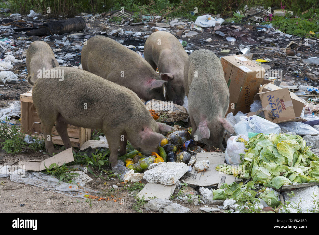 Pigs feeding on garbage dumped in a vacant lot near the city - Stock Image